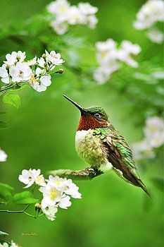 Christina Rollo - Fauna and Flora - Hummingbird with Flowers