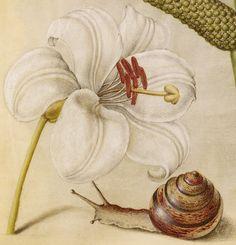 Madonna Lily, Terrestrial Mollusk, and Sweet Flag, Joris Hoefnagel, Georg Bocskay, 1591-96, script 1561-62