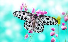 Photo about Close up Rice Paper Butterfly on pink flower. Image of focus, butterfly, colorful - 15820268 Butterfly Background, Butterfly Wallpaper, White Butterfly, Background Images, Butterfly Live, Butterfly Pictures, Butterfly Painting, Butterfly Design, Types Of Butterflies