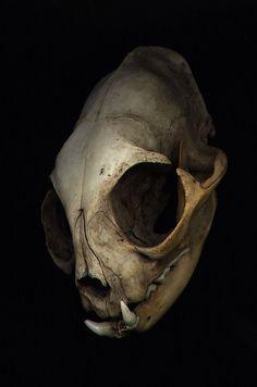 cat skull angle by PokoAchondria on DeviantArt Animal Skeletons, Animal Skulls, Skeleton Bones, Skull And Bones, Cat Skull, Skull Art, Alien Skull, Skull Reference, Pose Reference