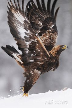 Golden Eagle (Aquila Chrysaetos) Taking Off, Flatanger, Norway, November 2008 Photographic Print Eagle Images, Eagle Pictures, Nature Pictures, Exotic Birds, Colorful Birds, Beautiful Birds, Animals Beautiful, Beautiful Norway, Types Of Eagles