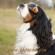 Un chien dans le vent ❤  Lunettes pour chien léopard. Disponible du XS au L à partir de 23,90 €. Boutique Oh ! Pacha : http://www.ohpacha.com/71-lunettes-pour-chien