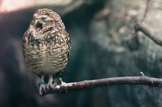 it's too early in the morning for this rabbit owl - to heck with that worm...