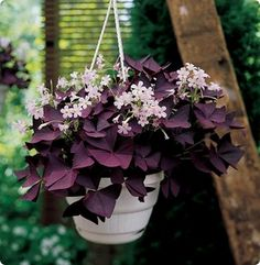 Purple Shamrock-guide to house plants
