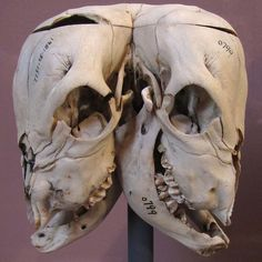 A two-headed calf skull at the Museum of Man exhibit on bones by jenfoolery on Flickr.