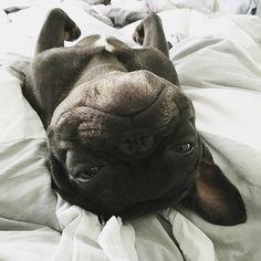 ...it's Monday, and I'm upside down about it, Bradley Bear, the French Bulldog, @itsbradleybear on instagram