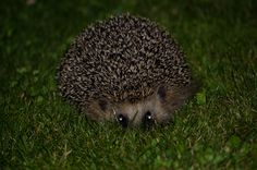 A cure little Hedgehog