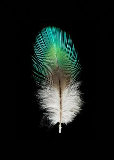 Parrot Feather - Bird - Fine Art Photograph - Nature Photograph - Black Background - Green by SeanoEye on Etsy