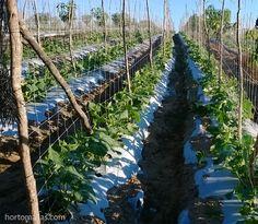La rete per cetrioli HORTOMALLAS permette una migliore aereazione ed esposizione solare dell´apparato foliare, aumentando la pollinizzazione e diminuendo la incidenza di patogeni.