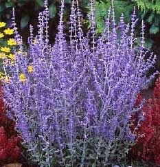 High Altitude Gardening: Russian Sage    so pretty
