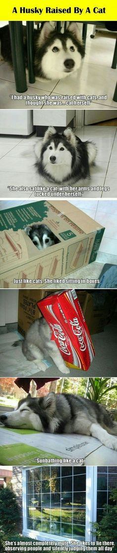 A husky raised by a cat. Can't choose between a cat or dog? Well, here's how you solve the issue!