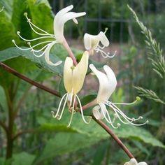 A healthy honeysuckle vine.