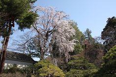 田中本家博物館の桜 4/13(8分咲き)