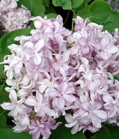 Syringa vulgaris Edward J. Gardener.jpg (257×300)