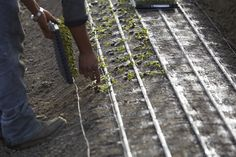 Seedlings are placed and planted by Hand. to insure the best crop production at Joseph & Sons. California Location, Family Flowers, Crop Production, Delphinium, Flower Farm, Joseph, Sons, Delphiniums, My Son