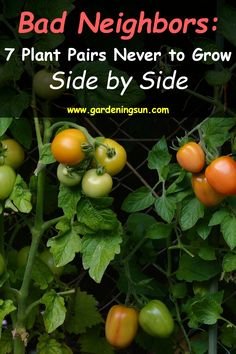 Bad Neighbors: 7 Plant Pairs Never to Grow Side by Side - Gardening Sun