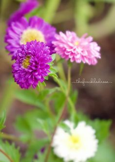 Powderpuff Aster Mix from Garden Harvest Supply In The October Garden | Angie The Freckled Rose