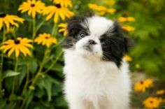 Japanese chin I just love their little mouth. So cute