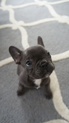 Someone get me a blue french bulldog please!