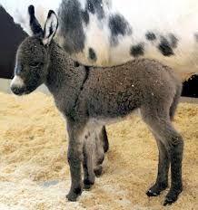 Kuvahaun tulos haulle Aasi Donkey, Lamb, Goats, Animals, Animales, Animaux, Donkeys, Animal, Animais