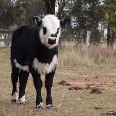What do to with a bull calf -- In this post I discuss the different options for castration of bull calves and a funny story about our first attempts.