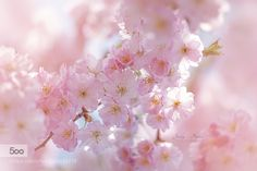 Cherry Blossom by JackyParker. Please Like http://fb.me/go4photos and Follow @go4fotos Thank You. :-)