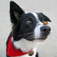 Dog Clicker Training Basics | Dogster