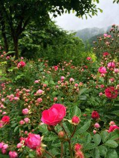 雨にぬれた庭の薔薇です。Our garden roses wet with rain.