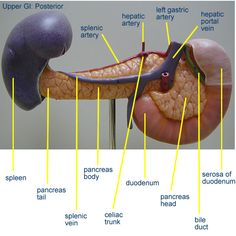 Digestive System Anatomy, Human Digestive System, Healthy Bowel Movement, Medical Quotes, Heart Anatomy, Anatomy Models, System Model, Thyroid Health, Anatomy And Physiology
