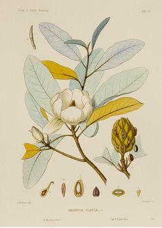 Magnolia Glauca