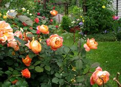 sagina subulata irish moss the garden pinterest. Black Bedroom Furniture Sets. Home Design Ideas