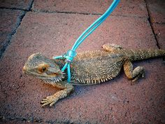 DIY reptile harness step by step photos . 1. Make two knots equally