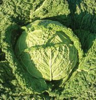 Organic Savoy Cabbage 'Famosa' has deep blue-green heads weighing in at 2-4 lb. Very good flavor. johnnyseeds.com