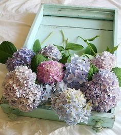 Hydrangeas - such pretty colors