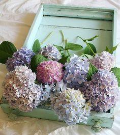 Hydrangeas - such pretty colors