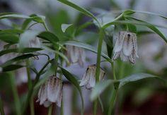 Fritillaria japonica