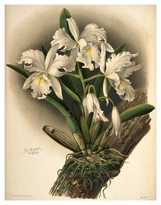 024-Cattleya Rochellensis-Reichenbachia-Orchids illustrated and described..VolI I-1888-F.Sander