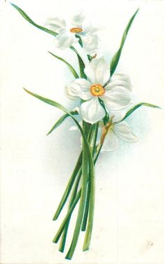 narcissi, three white blooms with red/yellow centres, stalks at bottom center