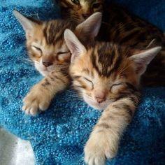 Bengals kitten