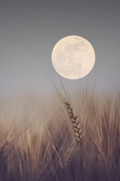 Moon and Wheat. There are few things more special than lying in a prairie wheat field and watching the sky.