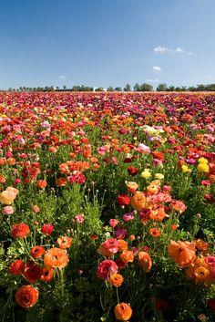 The Flower Fields  Carlsbad, California.