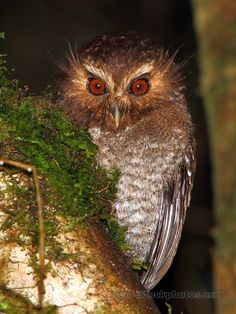 Long-whiskered Owlet, Xenoglaux loweryi, Northern Peru by Adam Riley