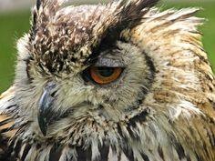 #bird of prey #eagle owl #feathers #macro #nature #owl #raptor