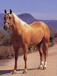 Palomino Photo:  This Photo was uploaded by chilibear1. Find other Palomino pictures and photos or upload your own with Photobucket free image and video ...