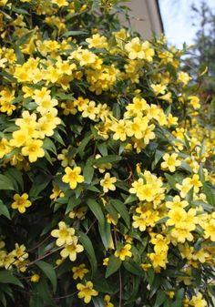 O jasmim-amarelo (Jasminum mesnyi) É uma planta rústica, tolerante ao vento e que precisa de sol para florescer #garden #flowers                                                                                                                                                      Mais