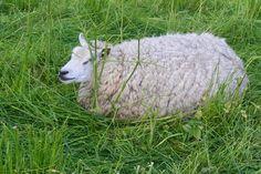 witte schaap