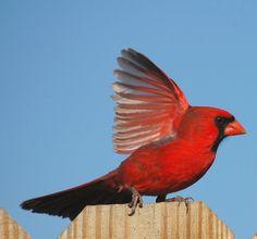 Cardinal Surprise