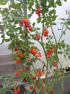 Helpot ohjeet tomaatin kasvatukseen Balcony Garden, Sprouts, Stuffed Peppers, Vegetables, Garden Tips, Lava, Gardening, Interior, Indoor