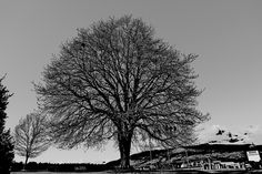 A Tree in Stanley Park by Alan 0NL1nE, via Flickr