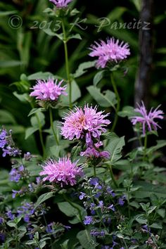 Monarda 'Marshalls Delight' - Feed your plants with GrowBest from http://www.shop.embiotechsolutions.co.uk/GrowBest-EM-Seaweed-Fertilizer-Rock-Dust-Worm-Casts-3kg-GrowBest3Kg.htm